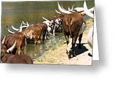 Ankole-watusi Cattle Greeting Card