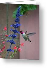 Anna's Hummingbird Feasting At Blue Salvia Greeting Card