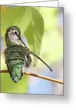 Anna's Hummingbird - Preening Greeting Card