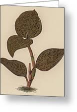 Anoectochilus Setaceus, Aurea Greeting Card