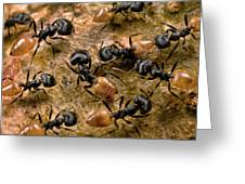 Ant Crematogaster Sp Group Greeting Card