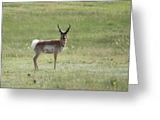 Antelope 3 Greeting Card