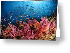 Anthias Fish And Soft Corals, Fiji Greeting Card