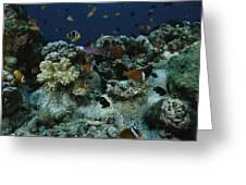 Anthias Fish, Anemonefish And Basslets Greeting Card