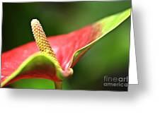 Anthurium Blossom Greeting Card