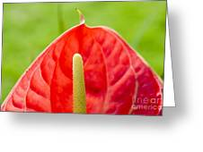 Anthurium Close-up Greeting Card