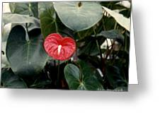 Anthurium Flower  Greeting Card