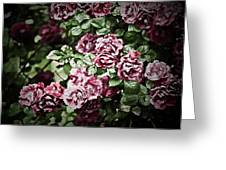 Antique Pink Roses Greeting Card