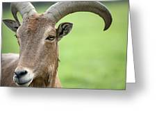 Aoudad Greeting Card
