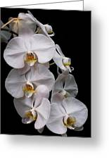 Aphrodite - White Orchid Greeting Card
