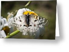 Apollo Butterfly Greeting Card