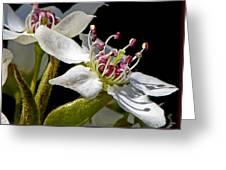 Apple Blossem In Sunlight Greeting Card