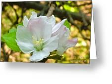 Apple Blossom Close-up Greeting Card