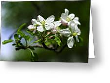 Apple Blossom In Iowa Greeting Card