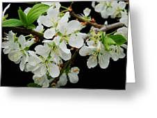 Apple Blossoms 3 Greeting Card