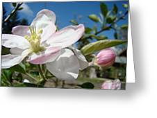 Apple Blossoms Art Prints Canvas Blue Sky Pink White Blossoms Greeting Card