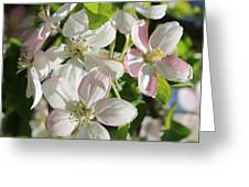 Apple Blossoms Square Greeting Card