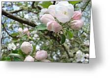 Apple Tree Blossoms Art Prints Apple Blossom Buds Baslee Troutman Greeting Card