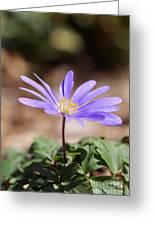 April Grecian Wind Flower  Greeting Card