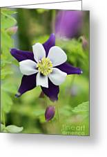 Aquilegia Swan Violet And White Greeting Card