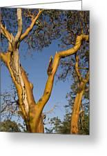 Arbutus Tree At Roesland Greeting Card