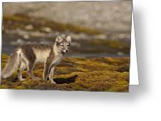 Arctic Fox In Tundra Greeting Card