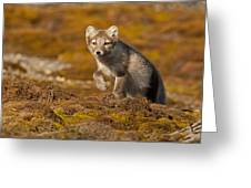 Arctic Fox Striding Out Greeting Card