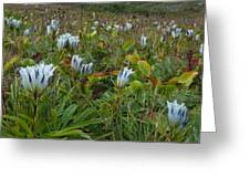 Arctic Gentian Blooming In The Alpine Greeting Card