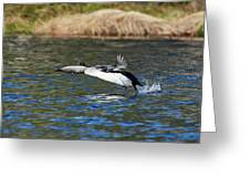 Arctic Loon Take Off Greeting Card