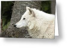 Arctic Wolf - On Watch Greeting Card
