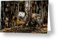 Arctic Wolf In Forest Greeting Card