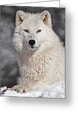 Arctic Wolf... Greeting Card