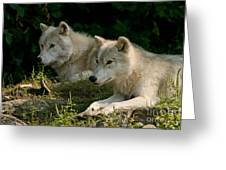 Arctic Wolf Pictures 1268 Greeting Card
