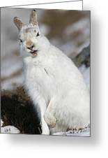 Are You Kidding? - Mountain Hare #14 Greeting Card