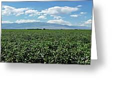 Arizona Cotton Field Greeting Card