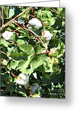 Arizona Cotton Greeting Card