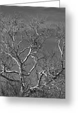 Arizona Sycamore Tree Filtered 022714 Greeting Card