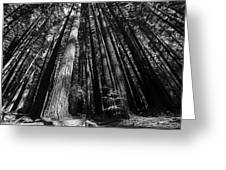Armstrong National Park Redwoods Filtered Sun Black And White Greeting Card