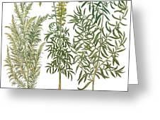 Artemisiae & Reseda Greeting Card