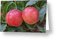 Artic Summer Nectarines Greeting Card