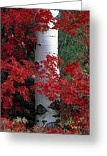 Aspen And Mountain Maple Greeting Card