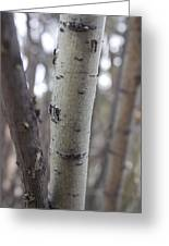 Aspen Bark Detail Greeting Card