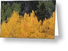 Aspen Trees In Full Bloom Greeting Card