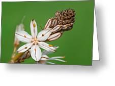 Asphodelus Microcarpus Greeting Card