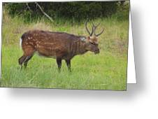Assateague Sitka Deer Greeting Card