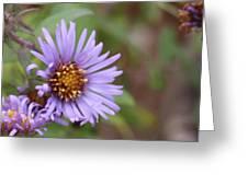 Aster Flower Greeting Card