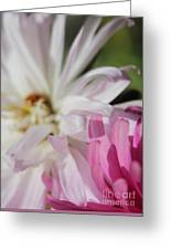 Aster Pink Greeting Card