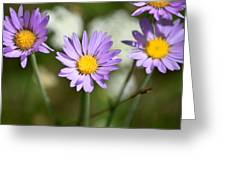 Asters Greeting Card