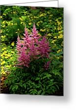 Astillbe In Light And Shadow Greeting Card