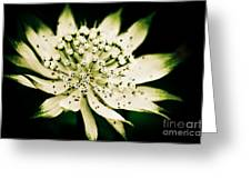 Astrantia In Bloom Greeting Card
